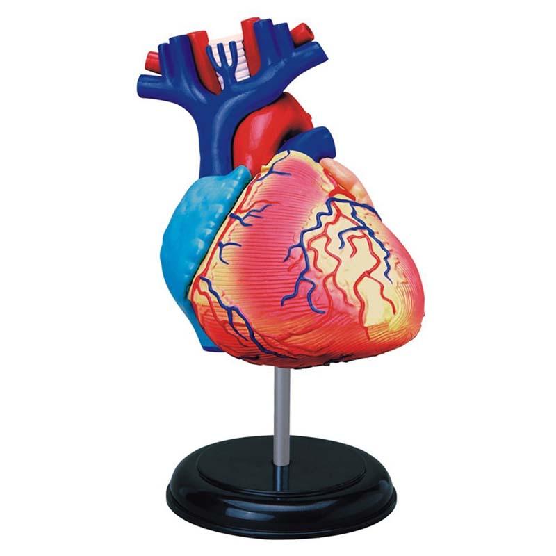4D - Heart Anatomy Model