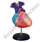 4D - Heart Anatomy Model