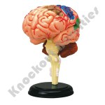 4D - Brain Anatomy Model