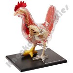Chicken Anatomy Model