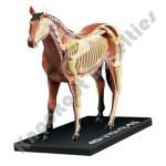Horse Anatomy Model