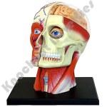 4D Human Head Model