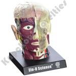 Brain & Skull Model