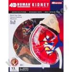 4D Kidney Human Anatomy Model